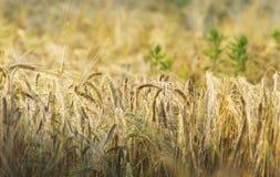 Orelhas de milho douradas em um fim acima da imagem Foto de Stock