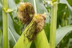 Orelhas de milho em hastes Imagens de Stock Royalty Free
