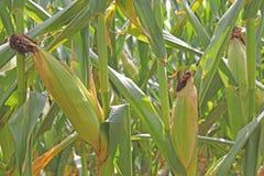 Orelhas de milho em hastes do milho Fotos de Stock
