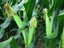 Orelhas de milho em um campo imagem de stock royalty free