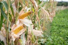 Orelhas de milho em um campo Imagens de Stock Royalty Free