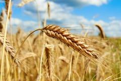 Orelhas de milho maduras Imagens de Stock
