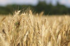 Orelhas de milho maduras no campo do verão Imagem de Stock Royalty Free