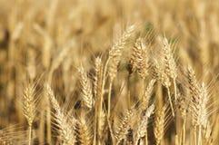 Orelhas de milho maduras no campo do verão Imagens de Stock Royalty Free