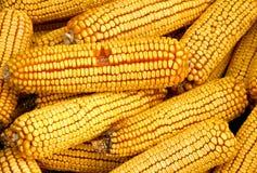 Orelhas de milho secadas fotografia de stock