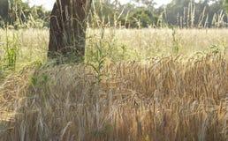 Orelhas de milho sob uma árvore Foto de Stock