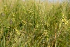 Orelhas do close-up do trigo em um campo verde imagem de stock