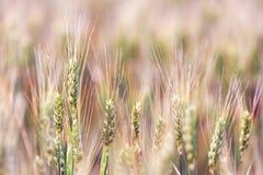 Orelhas do fim dourado do trigo acima Campo de trigo fotografia de stock