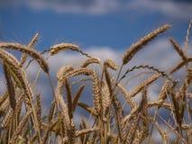 Orelhas do fim dourado do trigo acima fotografia de stock royalty free