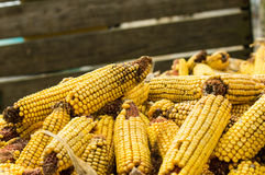 Orelhas do milho ou do milho secado Imagem de Stock Royalty Free
