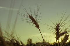 Orelhas do ouro do fim do trigo acima em um fundo do por do sol e de um borrão Fotografia de Stock