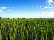 Orelhas do trigo. Fotos de Stock