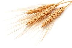 Orelhas do trigo Imagem de Stock