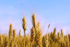 Orelhas do trigo Fotos de Stock