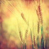 Orelhas do trigo Foto de Stock