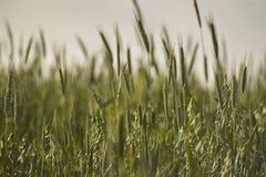 Orelhas do trigo Foto de Stock Royalty Free