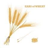 Orelhas do trigo amarradas com guita e um punhado da grão Fotografia de Stock