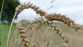 Orelhas do trigo após a chuva imagem de stock