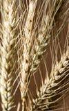 Orelhas do trigo como o fundo foto de stock