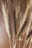 Orelhas do trigo como o fundo fotografia de stock royalty free