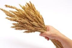 Orelhas do trigo da preensão da mão foto de stock