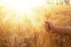 Orelhas do trigo da terra arrendada da mão Fotos de Stock Royalty Free