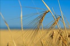 Orelhas do trigo de encontro ao céu fotografia de stock royalty free