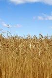 Orelhas do trigo do campo fotos de stock royalty free