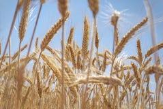 Orelhas do trigo e céu azul bonito Imagem de Stock