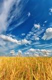 Orelhas do trigo e céu nebuloso imagens de stock royalty free