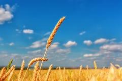 Orelhas do trigo e céu nebuloso fotos de stock royalty free