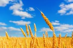 Orelhas do trigo e céu nebuloso Imagem de Stock Royalty Free