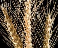Orelhas do trigo em um fundo preto Fotografia de Stock