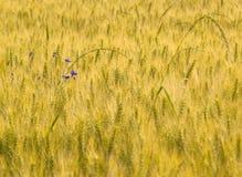 Orelhas do trigo em um prado fotos de stock royalty free