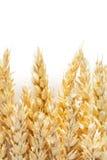 Orelhas do trigo isoladas no fundo branco Fotografia de Stock