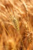 Orelhas do trigo maduro Fotografia de Stock