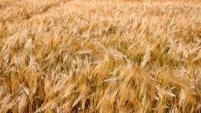 Orelhas do trigo maduro video estoque