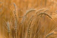 Orelhas do trigo maduro Fotos de Stock
