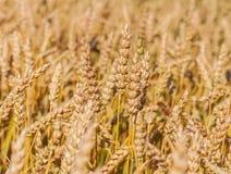 Orelhas do trigo maduro imagem de stock royalty free