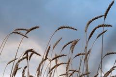 Orelhas do trigo maduro contra o céu azul O tema da noite ou da manhã do outono da colheita foto de stock royalty free