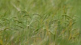 Orelhas do trigo maduro em um campo vídeos de arquivo