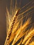 Orelhas do trigo na luz dourada Imagens de Stock Royalty Free