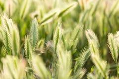 Orelhas do trigo na natureza fotografia de stock
