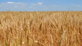 Orelhas do trigo no campo vídeos de arquivo