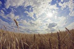 Orelhas do trigo no campo Imagem de Stock Royalty Free