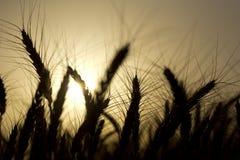 Orelhas do trigo no campo Imagens de Stock