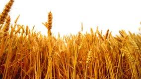 Orelhas do trigo no campo cultivado agrícola sobre o fundo branco video estoque
