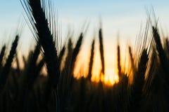 Orelhas do trigo no por do sol imagens de stock royalty free