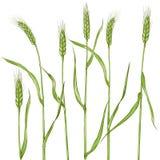 Orelhas do trigo Os cereais colhem, agricultura, cultivo org?nico, s?mbolo saud?vel do alimento ilustração do vetor