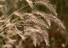 Orelhas do trigo selvagem Imagens de Stock